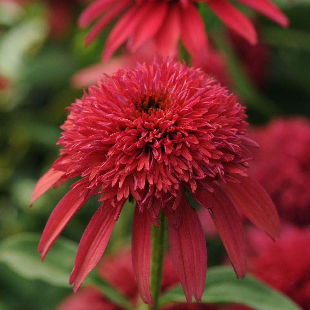 2.5 Qt. Double Scoop Cranberry Echinacea With Deep Purple Red Blooms, Live  Perennial