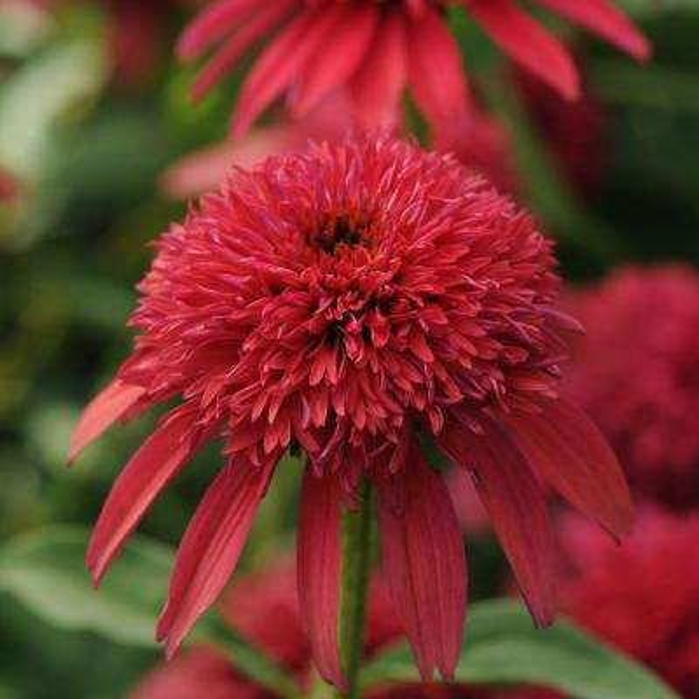 2.5 Qt. Double Scoop Cranberry Echinacea