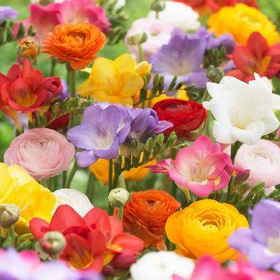 Grand Freesia and Ranunculus Blend (Set of 25)