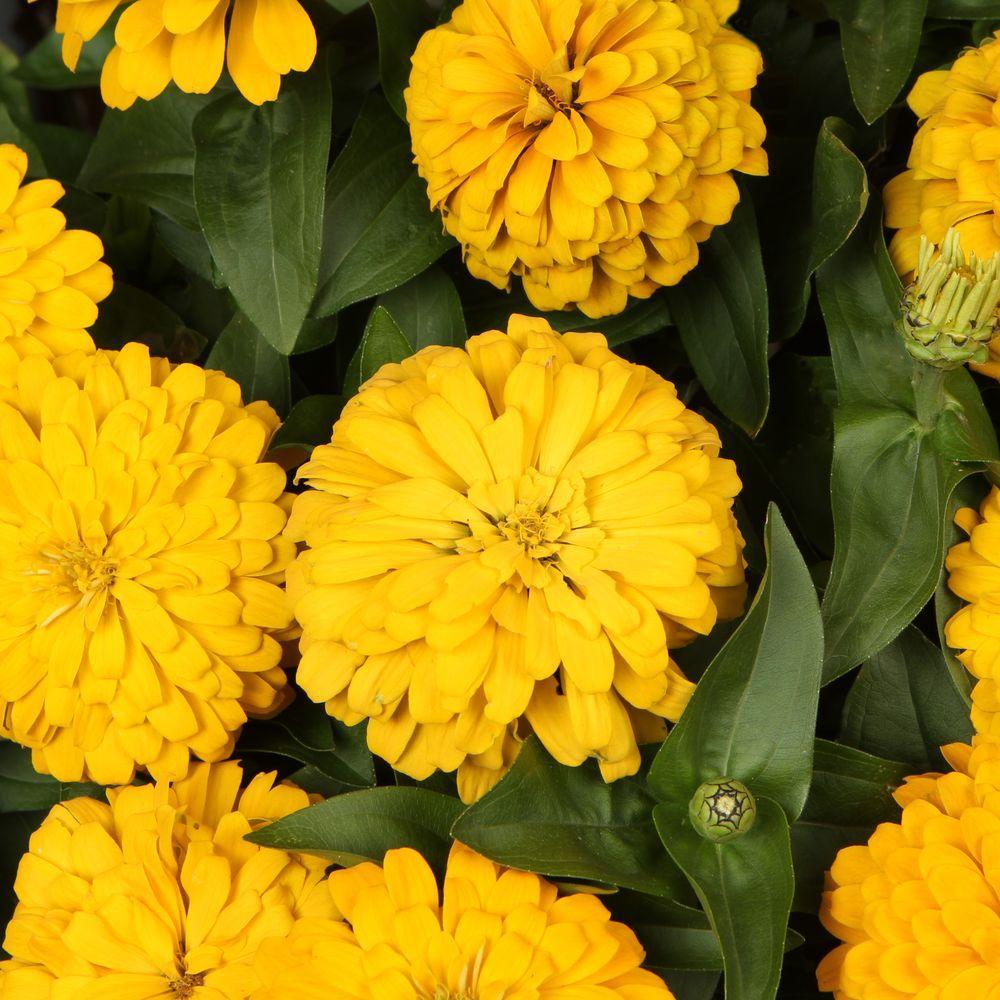 Sweet Tooth Lemonhead (Zinnia) Live Plant, Yellow Flowers, 4.25 in. Grande, 4-Pack