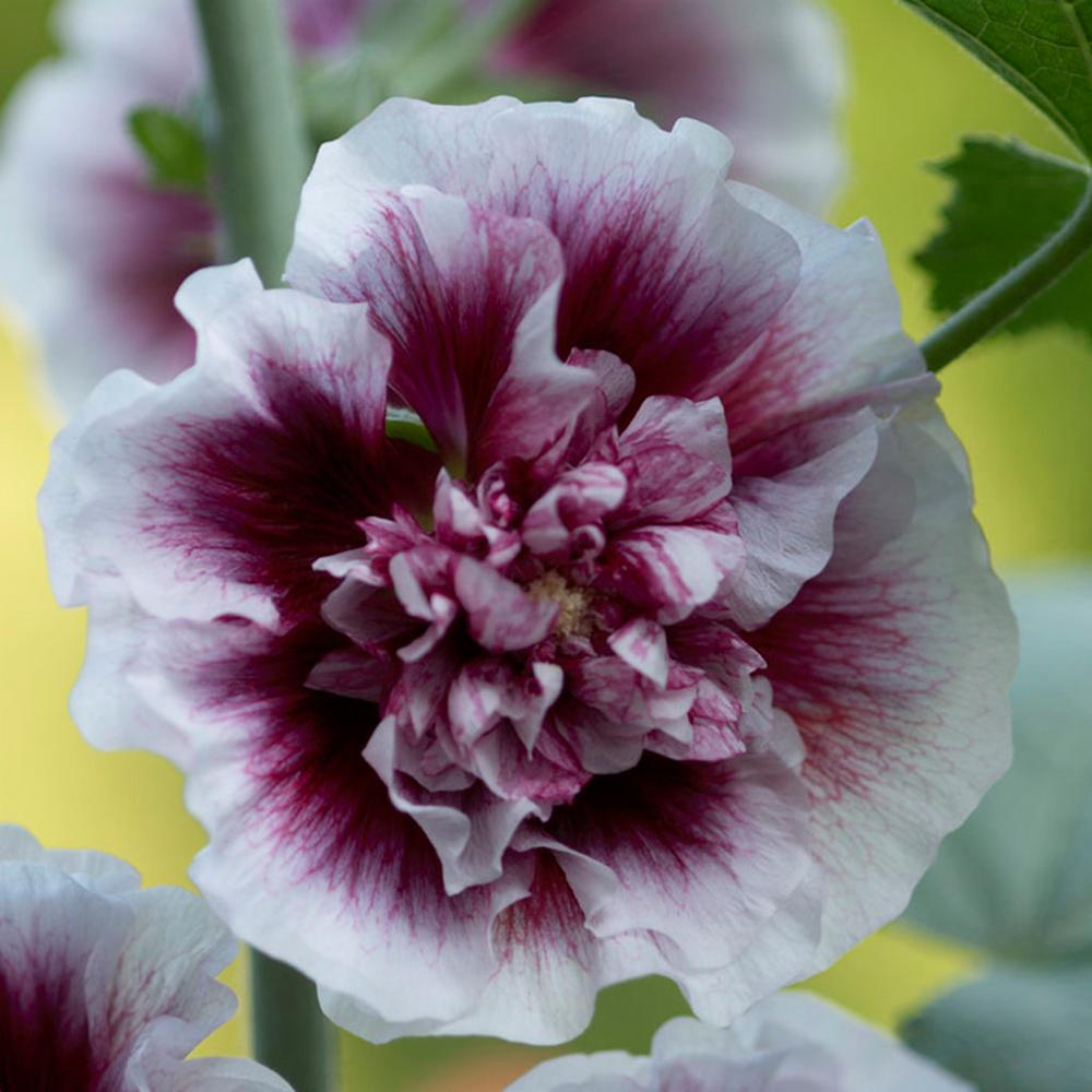 Hollyhocks Creme de Cassis Roots (5-Pack)