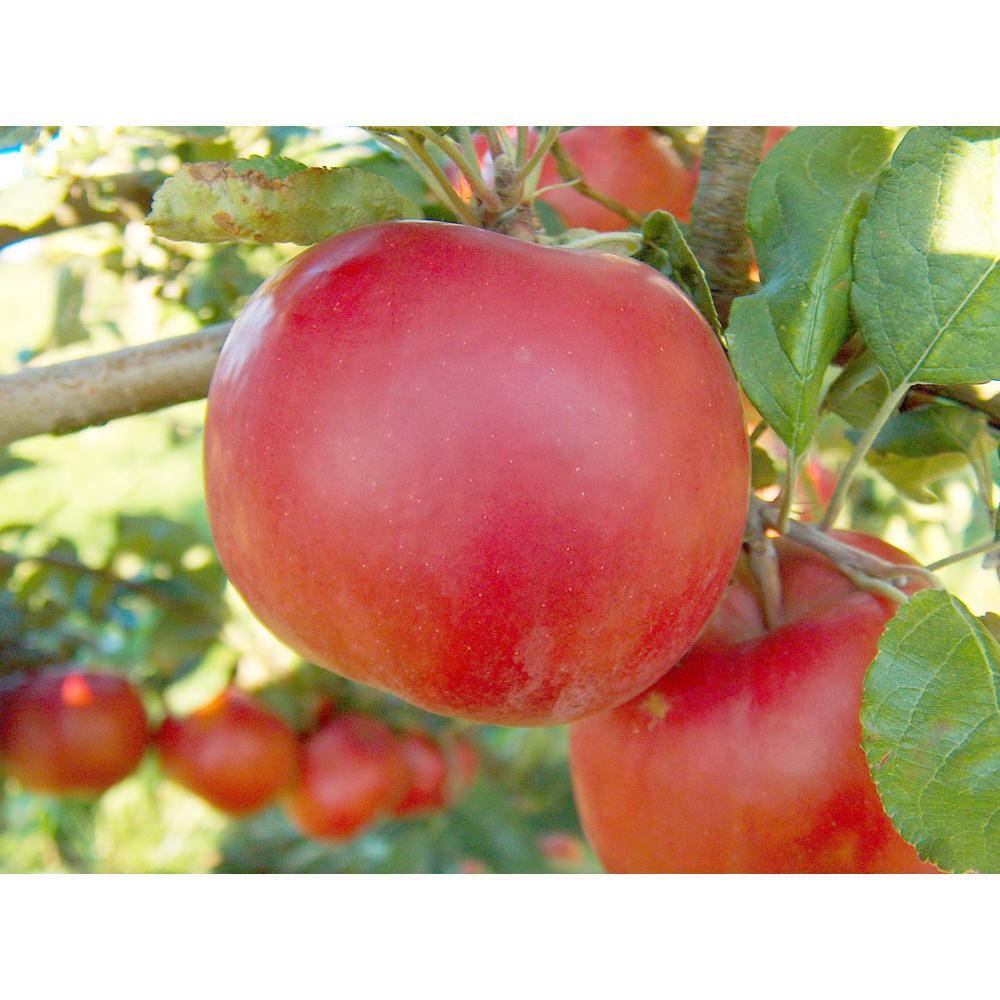 Dwarf Red McIntosh Apple Tree Bare Root