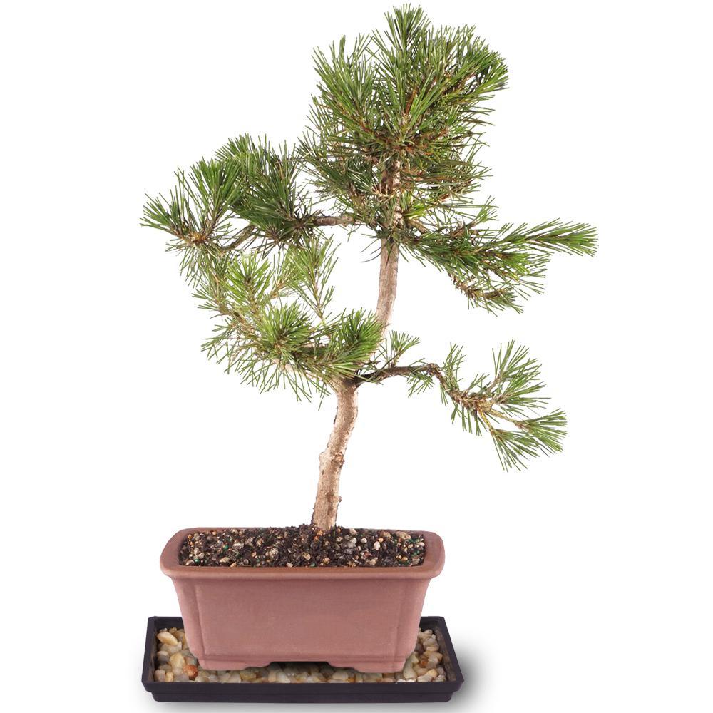 Brussel S Bonsai Japanese Black Pine Tree Dt1511jbp The Home Depot