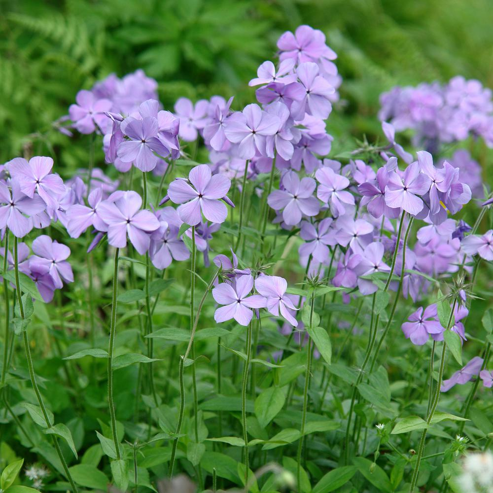 3 in. Pot Blue Moon Tall Phlox Purple Flowers Live Perennial