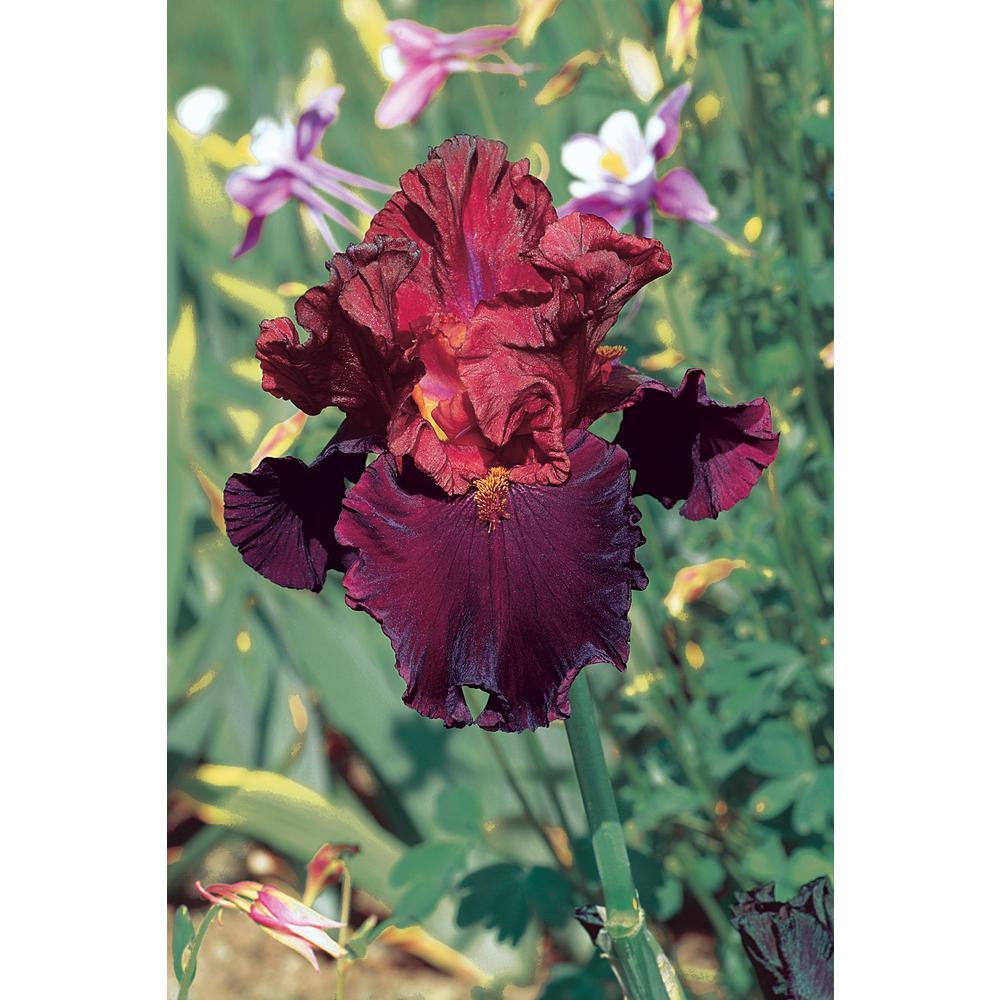 Brecks Raptor Red Bearded Iris Ruby Red Flowers Live Bareroot Plant
