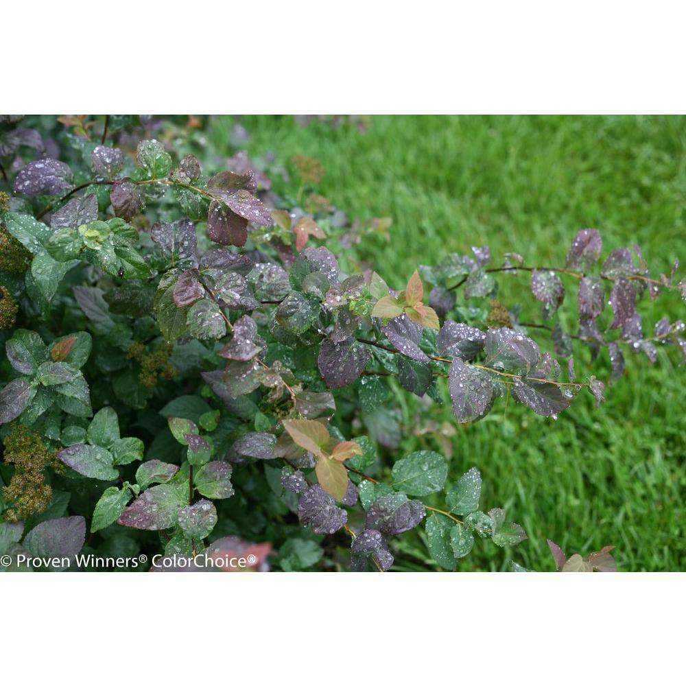Proven Winners Double Play Blue Kazoo Spirea Spiraea Live Shrub