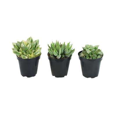 9 cm Haworthia Plant Collection (3-Pack)