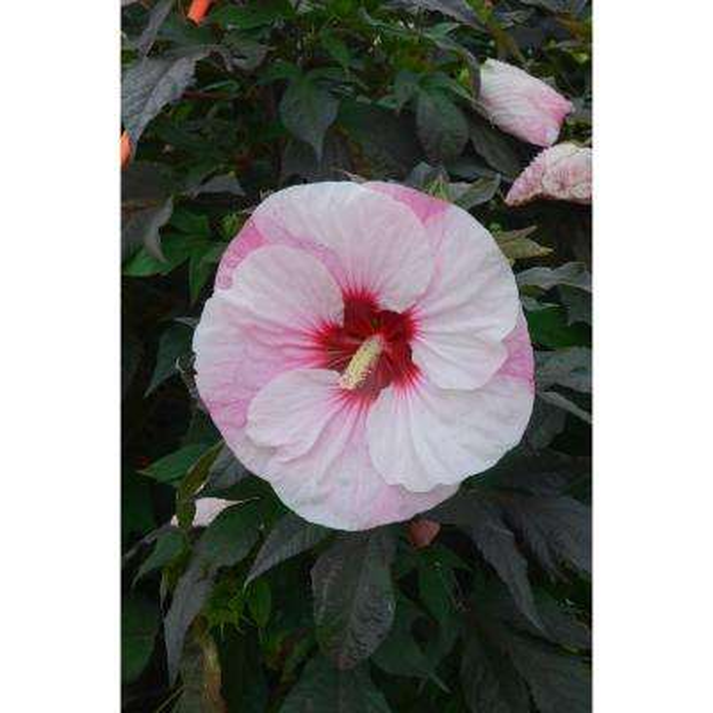 Hibiscus - Free Shipping - Garden Plants & Flowers - Garden Center ...