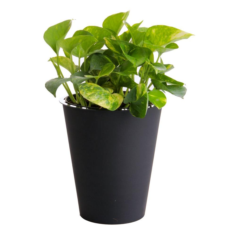 waterwick 6 in golden pothos in self watering pot gp6wwhd the home depot. Black Bedroom Furniture Sets. Home Design Ideas