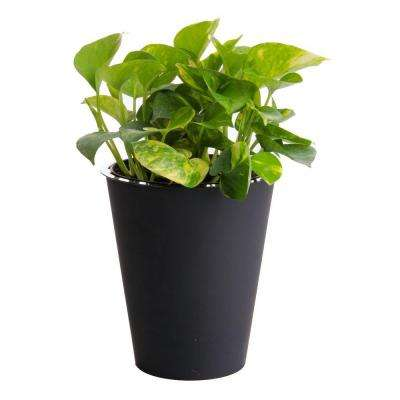 6 in. Golden Pothos in Self Watering Pot
