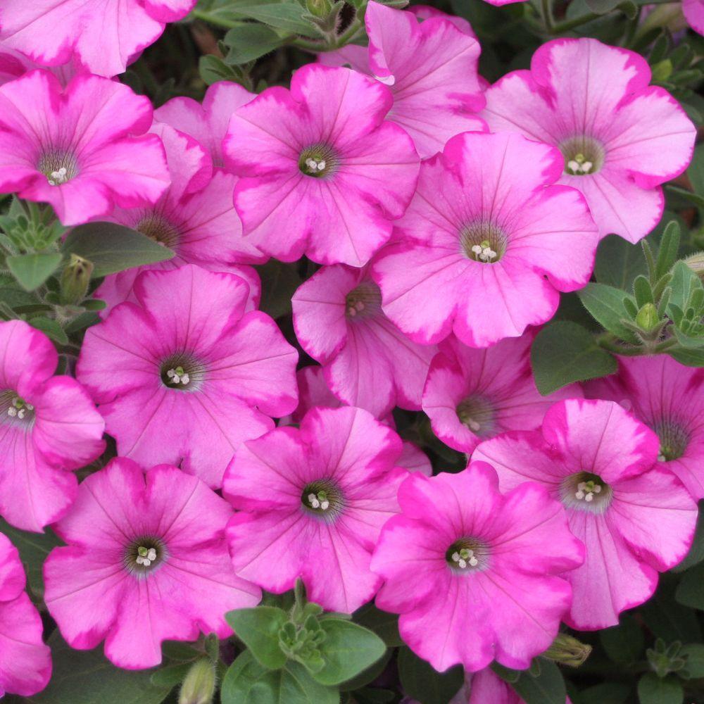 Proven Winners Supertunia Raspberry Blast (Petunia) Live Plant, Light Pink Flowers with Dark Pink Edges, 4.25 in. Grande