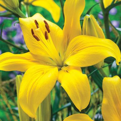 Yellow Asiatic Lily County Bulbs (25-Pack)