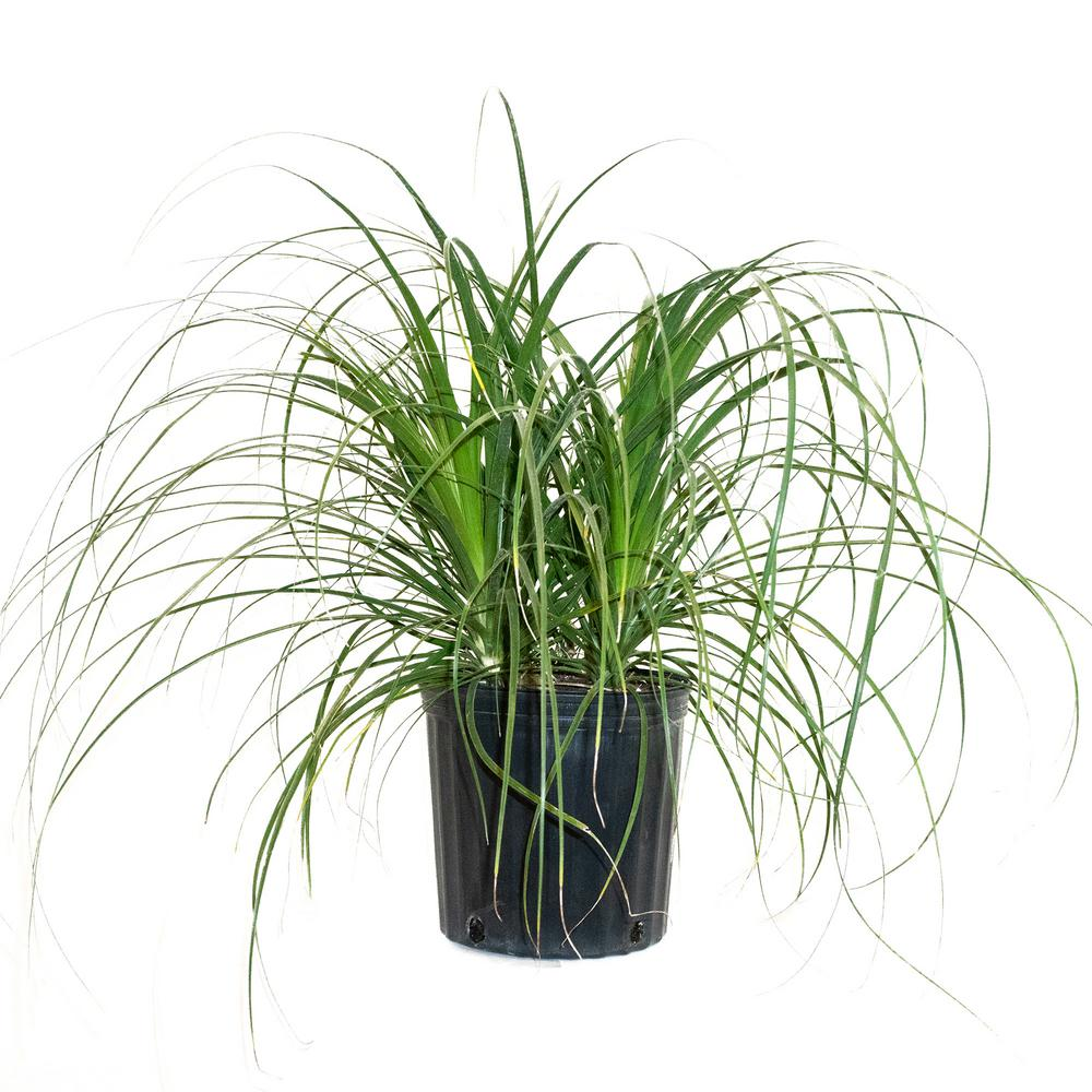 Ponytail Palm Bush Form in 9.25 in. Grower Pot