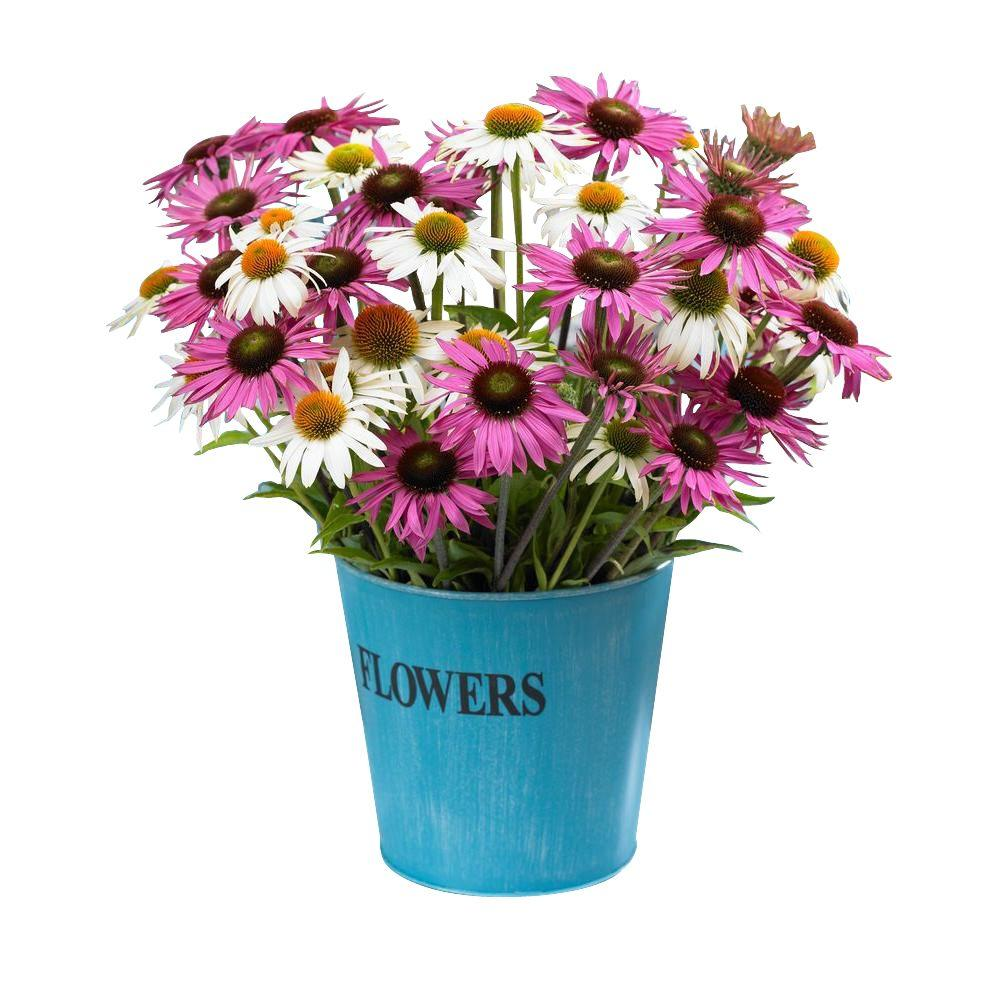 Bloomsz butterfly daisy blend roots 6 pack 00424 the home depot bloomsz butterfly daisy blend roots 6 pack izmirmasajfo