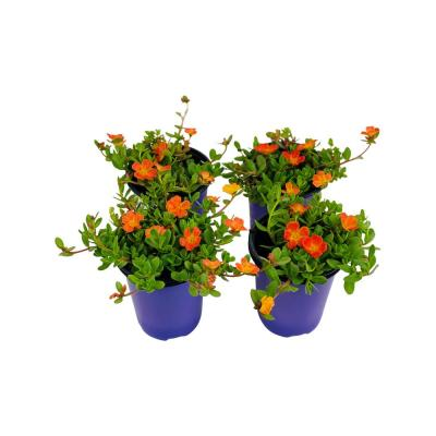 1.38 Pt. Purslane Plant Orange Flowers in 4.5 In. Grower's Pot (4-Plants)
