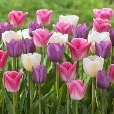 Tulip Soft Beauty Mix Bulbs (25-Pack)