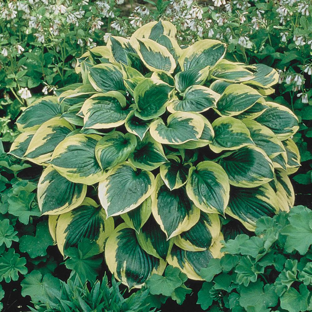 Variegated Foliage Aureo Marginata Hosta Live Bareroot Perennial Plants (10-Pack)