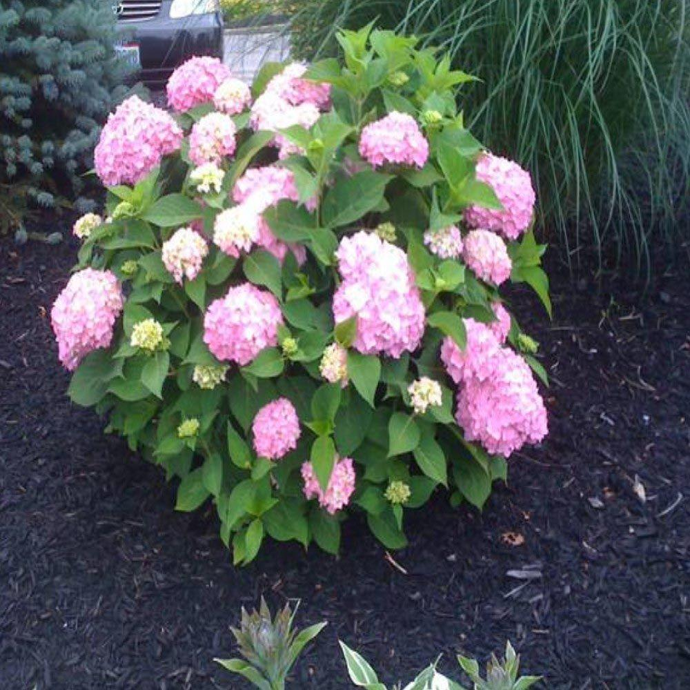OnlinePlantCenter 3 Gal. All Summer Beauty Hydrangea Shrub