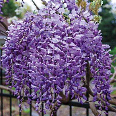 2 in. Pot Blue Moon Reblooming Wisteria Live Deciduous Plant Purple Flowering Perennial Vine