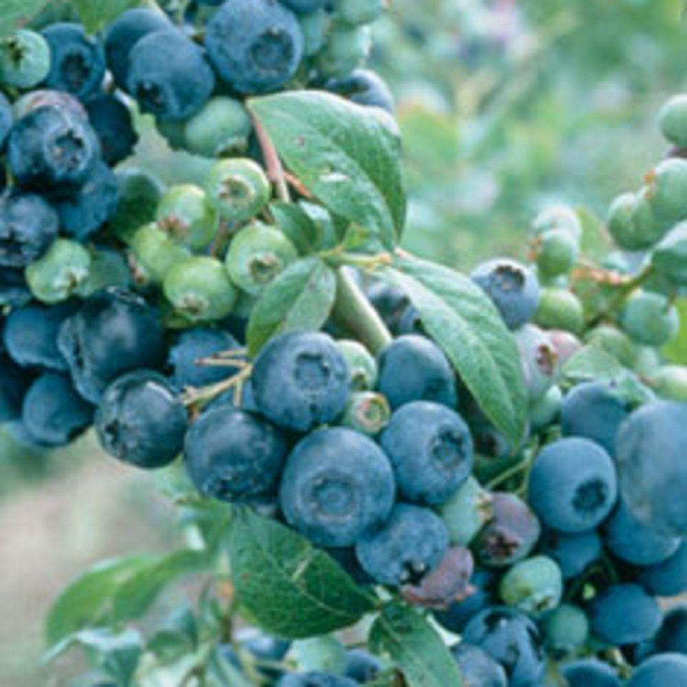 2.5 Qt. Climax Blueberry Shrub(Rabbiteye) Bush - Fruit-bearing Shrub
