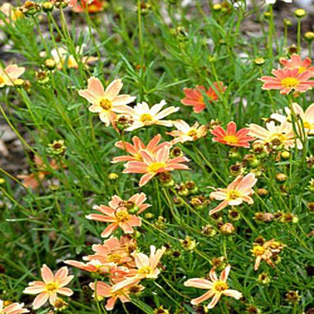 OnlinePlantCenter 1 gal. Sienna Sunset Tickseed Coreopsis Plant