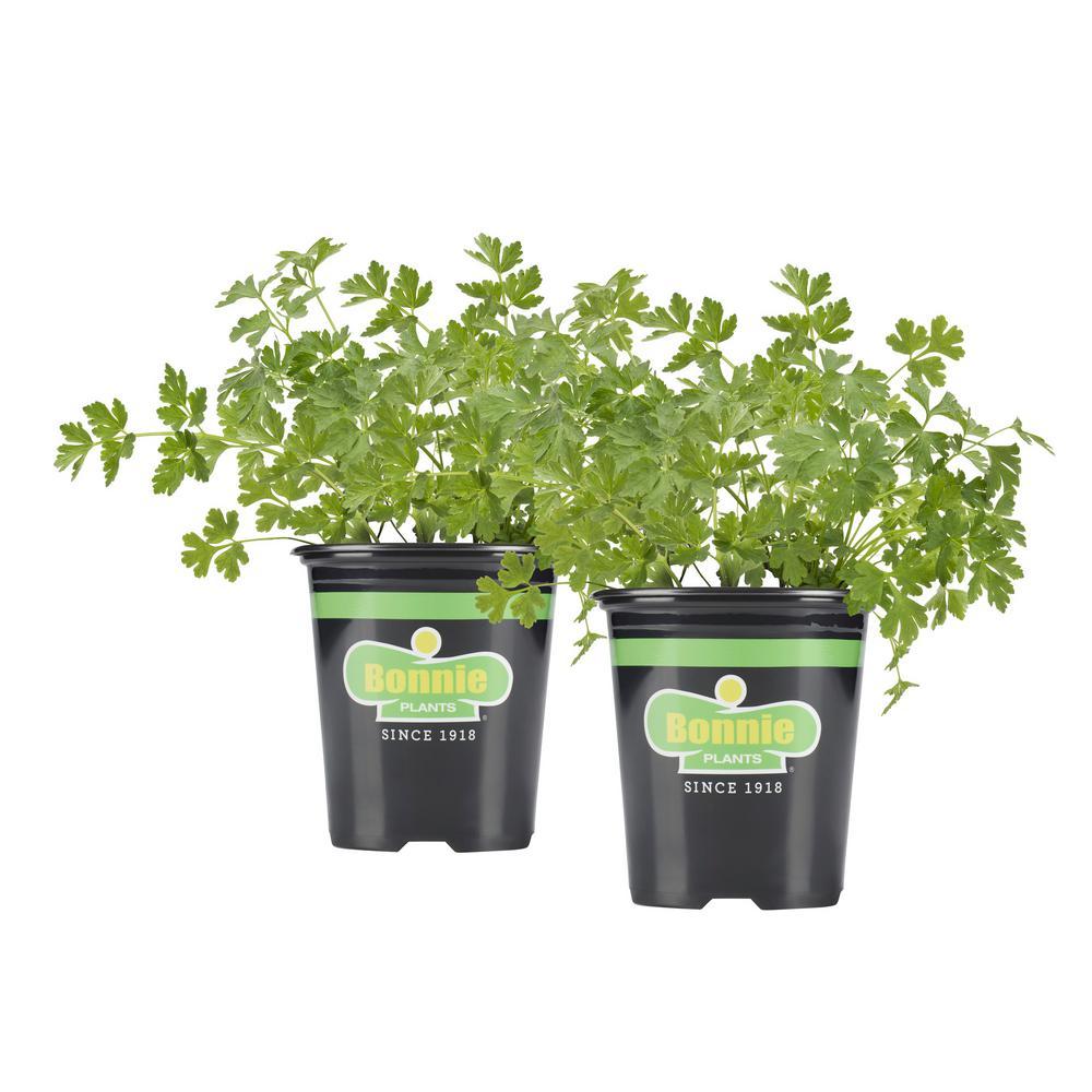 19.3 oz. Italian (Flat) Parsley (2-Pack Live Plants)