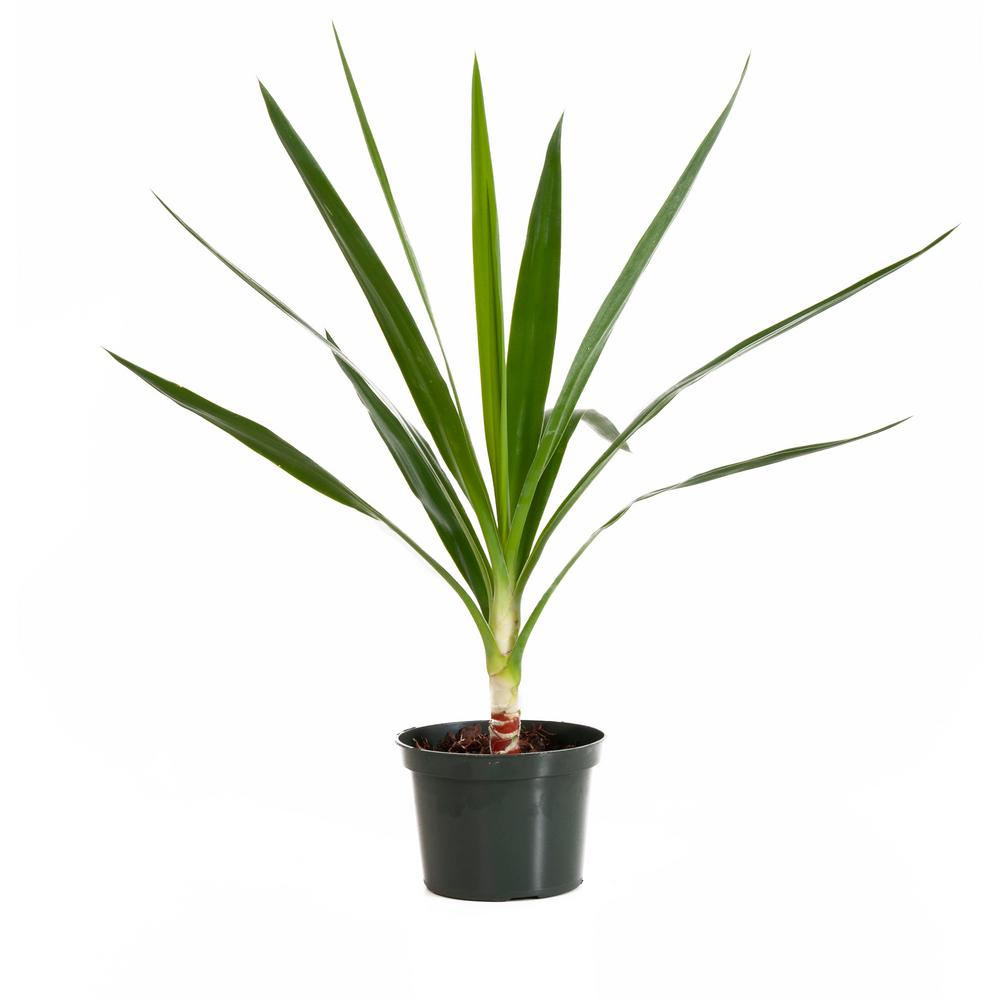 Yucca Tip in 6 in. Grower Pot