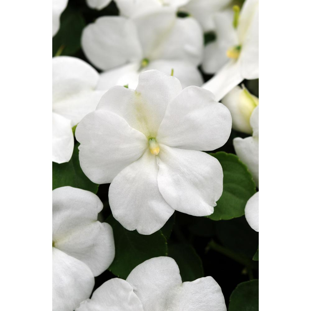 Altman plants 6 in assorted string of pearls hanging basket plant white impatien plant pack of 6 izmirmasajfo