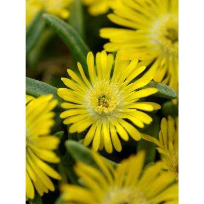 Yellow 10 30 to 40 f full sun perennials garden plants button up gold trailing iceplant delosperma live plant yellow flowers 45 in mightylinksfo
