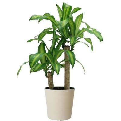 Mass Cane in 8.75 in. White Decor Pot