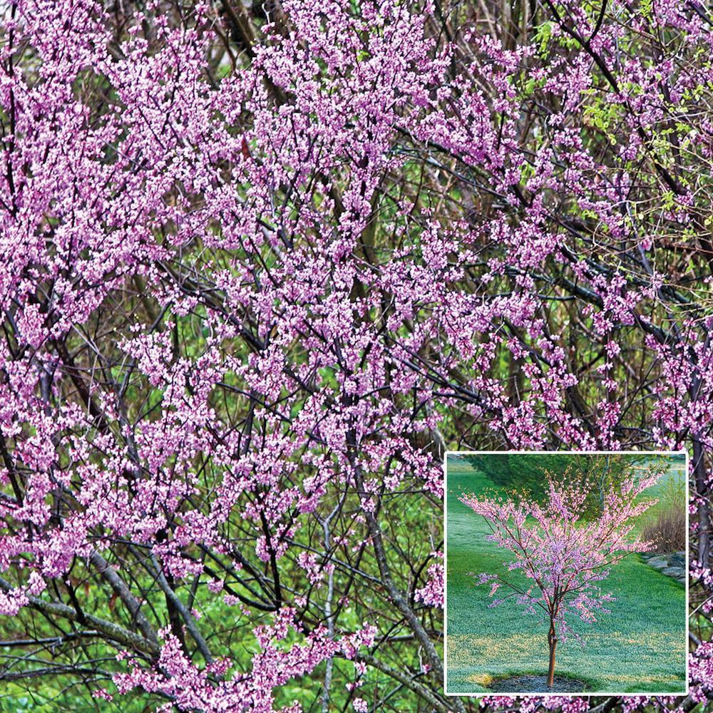 Spring Hill Nurseries Black Pearl Redbud Cercis Live Bareroot