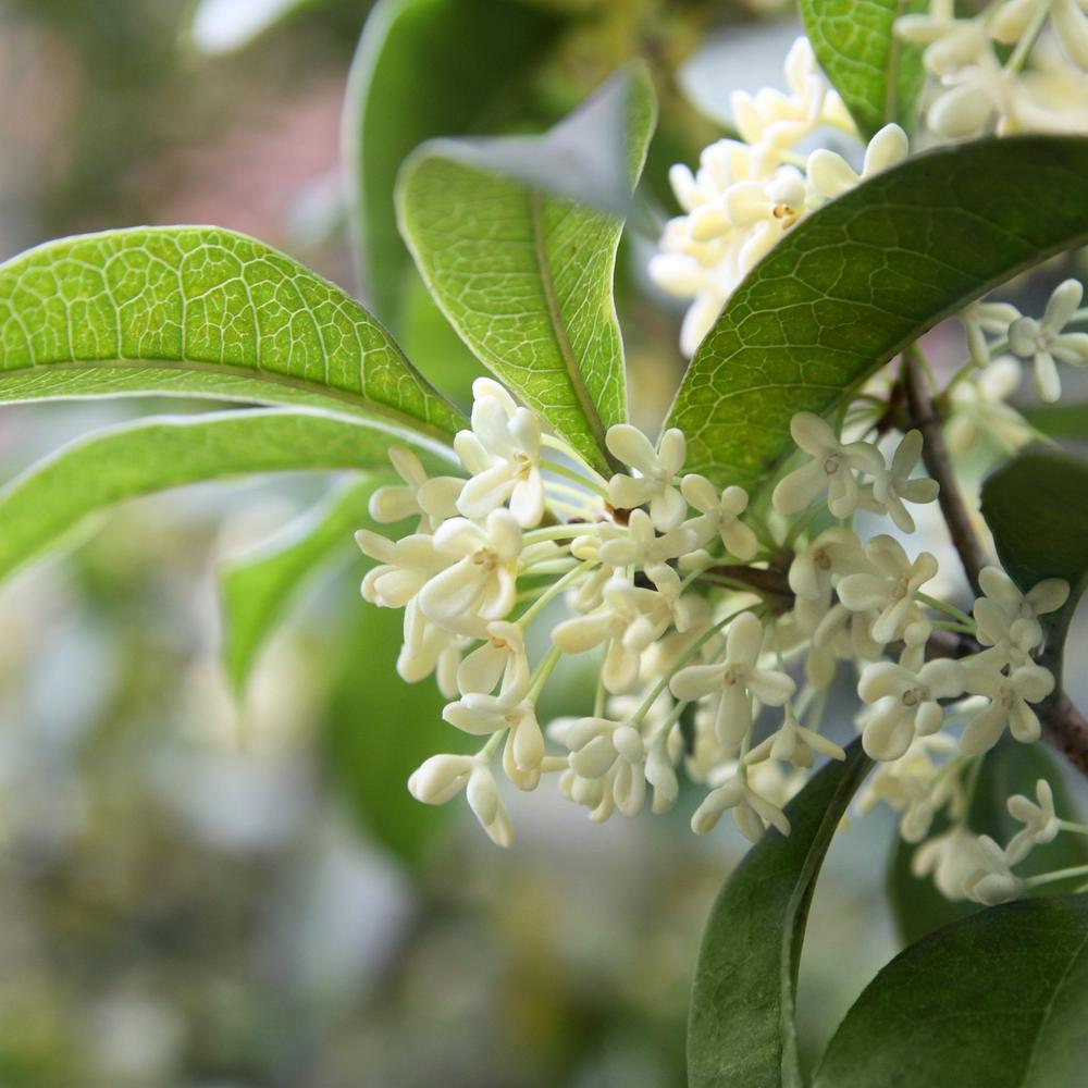 2.5 qt. Sweet Olive Shrub