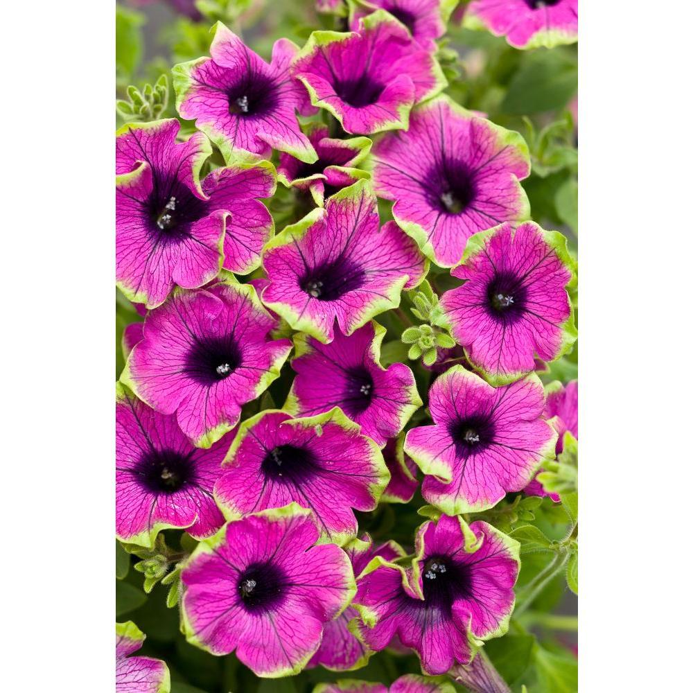 Supertunia Pretty Much Picasso (Petunia) Live Plant, 4.25 in. Grande, 4-pack