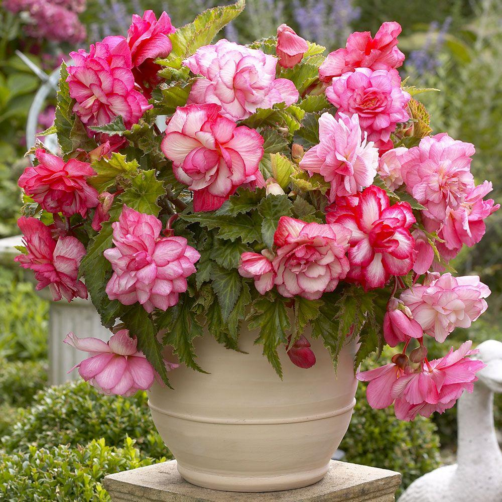 5 cm to 6 cm Pink Balcony Begonia Bulbs (3-Pack)