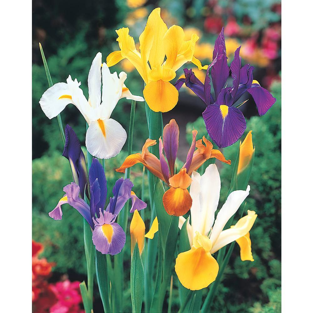 Dutch Iris Bulb Mixture (50-Pack)