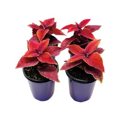 1.38 Pt. Coleus Plant Oxblood Red in 4.5 In. Grower's Pot (4-Plants)