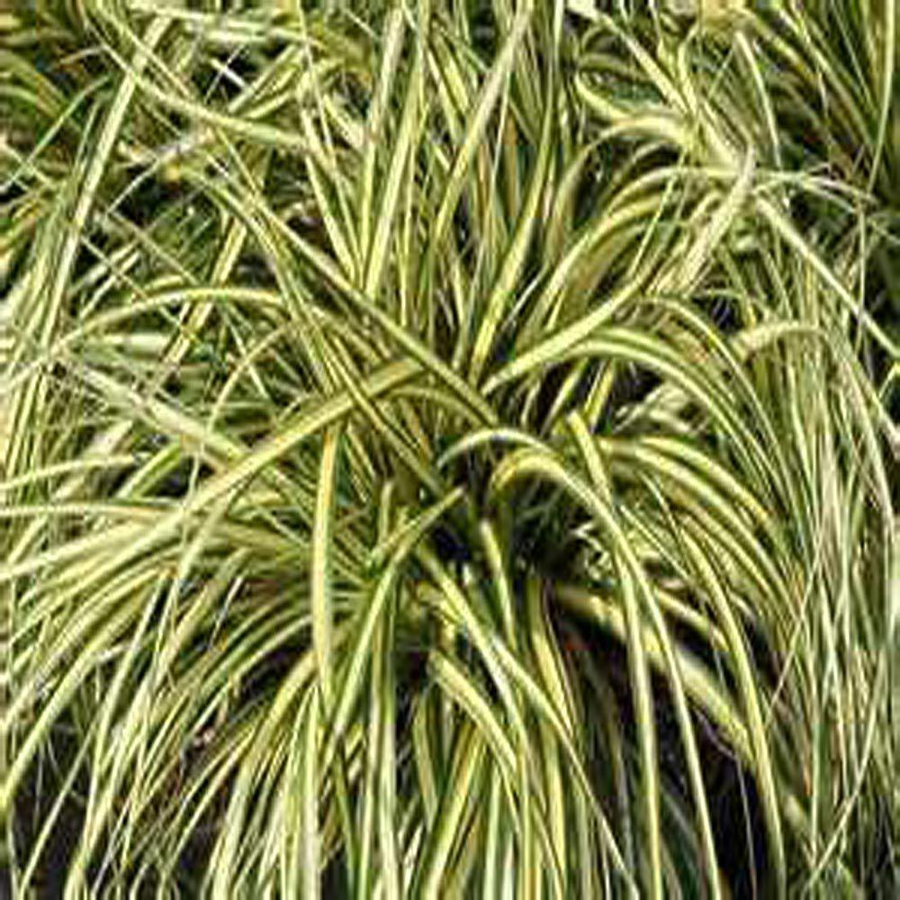 Onlineplantcenter 1 gal evergold variegated japanese for Short decorative grass