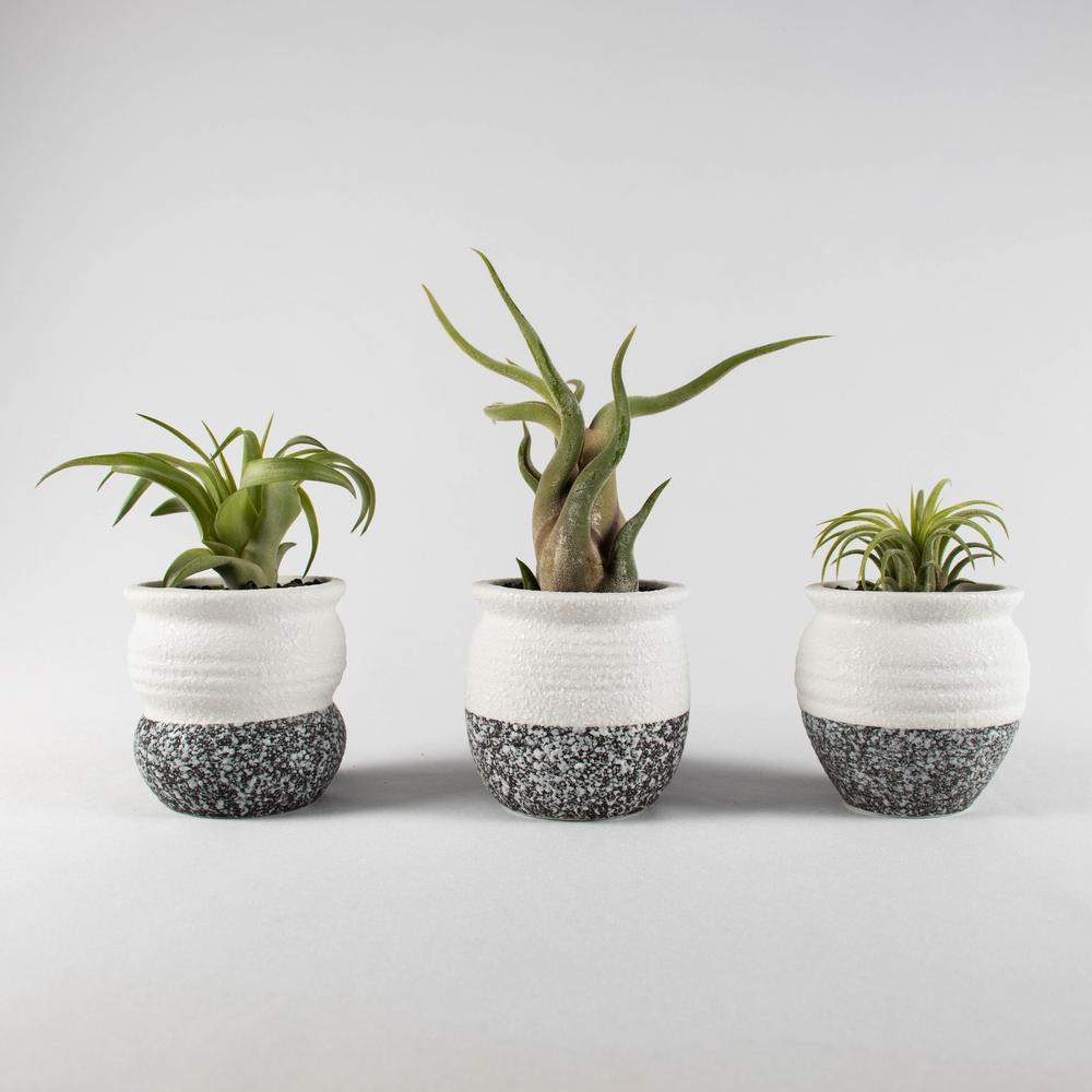 Air Plant Succulent Live (3 Tillandsias) - White & Gray Trim Ceramic Pot Set 2 with Black Stones