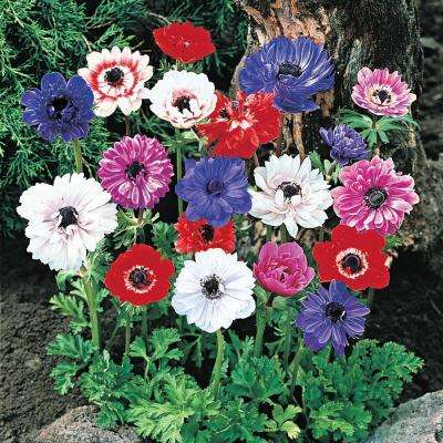 Multi-Colored Flowers Coronaria St. Brigid Anemone Bulbs (25-Pack)