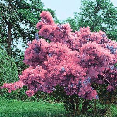 Purple Foliage Smoke Tree (Cotinus) Live Bareroot Tree (1-Pack)