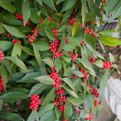 Southern Gentleman Winterberry (Ilex), Live Bareroot Plant, White Flowering Shrub (1-Pack)