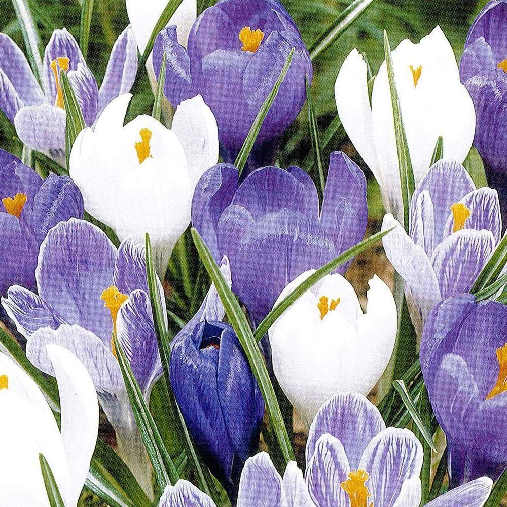 null Crocus Large Flowering Mix Dormant Bulbs (36-Pack)