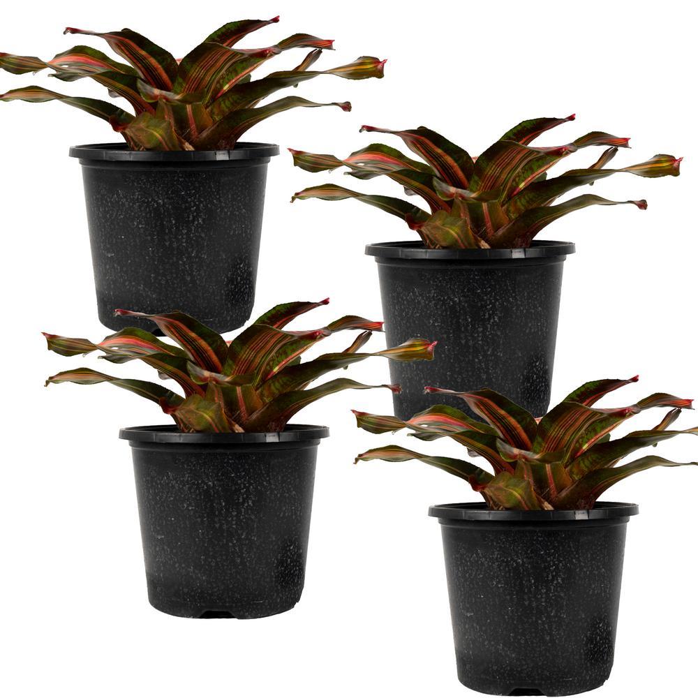 Kahala Dawn Bromeliad Neoregelia Live Plant in 8 in. Growers Pot (4-Pack)