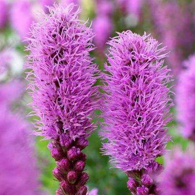 10 cm to 12 cm Liatris Spicata Bulbs (24-Pack)