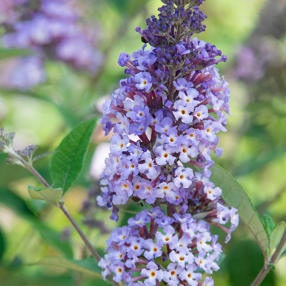 4 in. Pot Summer of Love Butterfly Bush (Buddleia) Live Decidous Flowering Shrub (1-Pack)