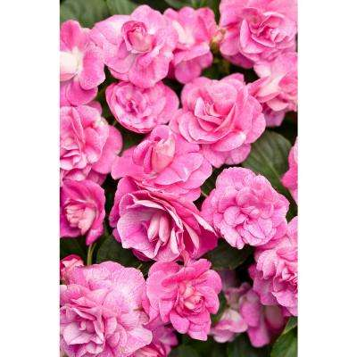 Rockapulco Rose (Double Impatiens) Live Plant, Pink Flowers, 4.25 in. Grande, 4-pack