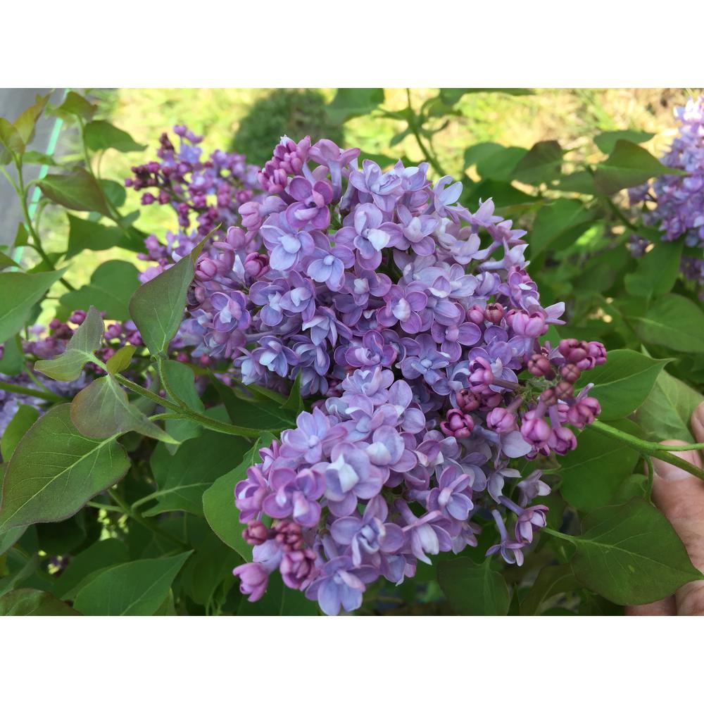 3 Gal. Scentara Double Blue Lilac Syringa Live Shrub, Purple Double Flowers