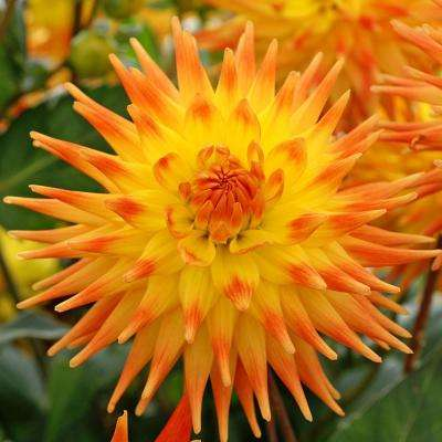 Rising Sun Dahlia Bulbs (3-Pack)