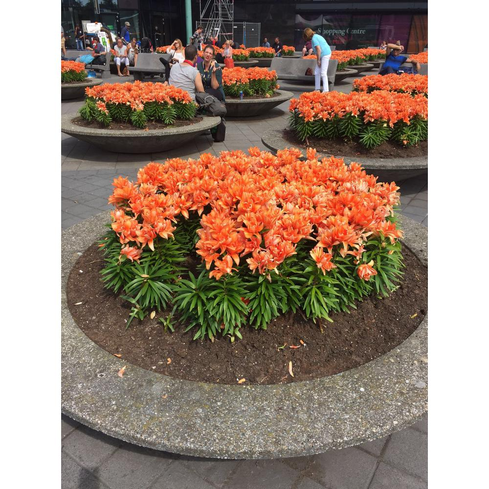 National Plant Network Asiatic Lily Tiny Double You Orange Bloom