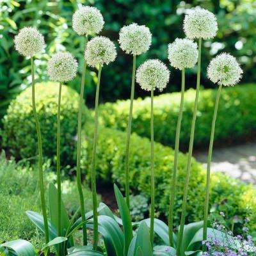 Allium flower white flower bulbs garden plants flowers the allium bulbs mount everest set of 5 mightylinksfo